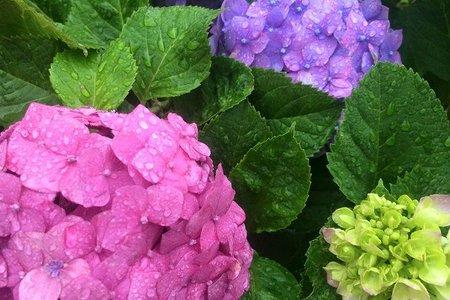 紫陽花 剪定 時期