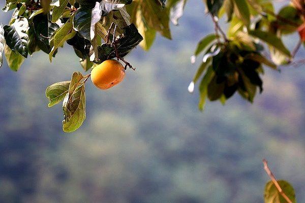 の 時期 柿の木 剪定 柿の剪定時期は12~3月が基本!幼木と成木で異なる剪定方法をご紹介|生活110番ニュース